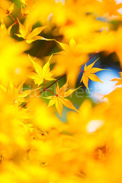 Geel esdoorn bladeren boom Rood najaar Stockfoto © leungchopan