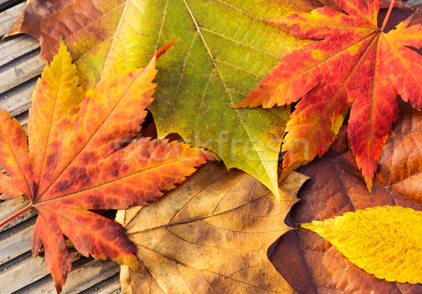 Maple leave in autumn  Stock photo © leungchopan