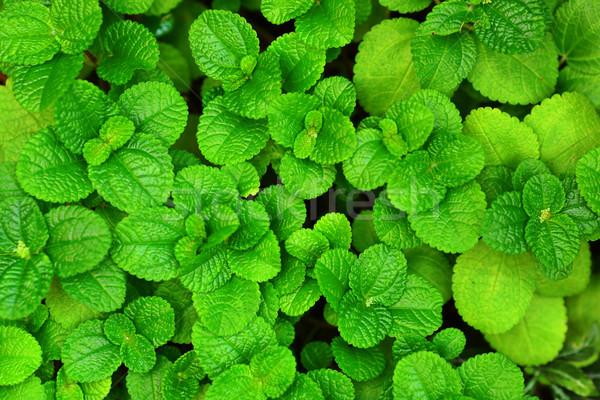 Green leaf background Stock photo © leungchopan