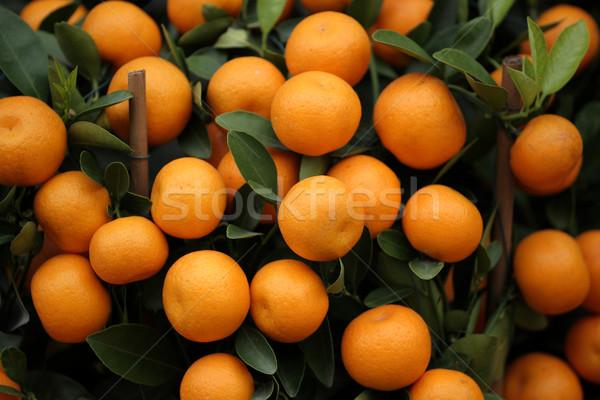 many kumquat Stock photo © leungchopan