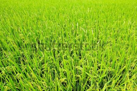 Rijstveld natuur veld groene boerderij oor Stockfoto © leungchopan
