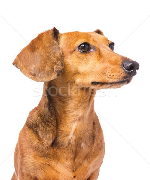 Tacskó kutya néz oldal Stock fotó © leungchopan