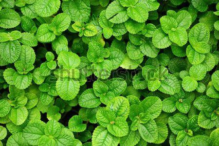 Green leaves background Stock photo © leungchopan
