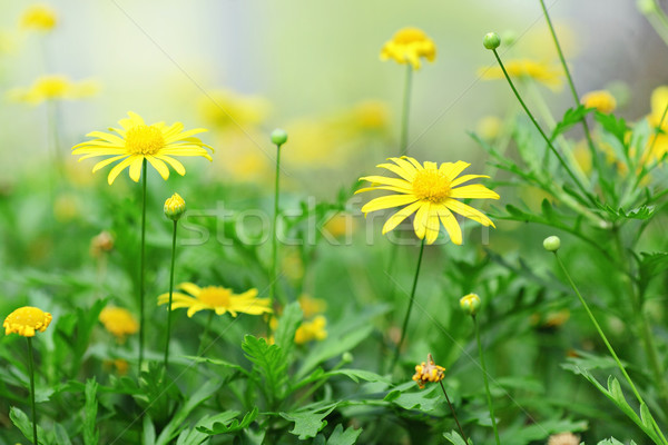 yellow flower Stock photo © leungchopan