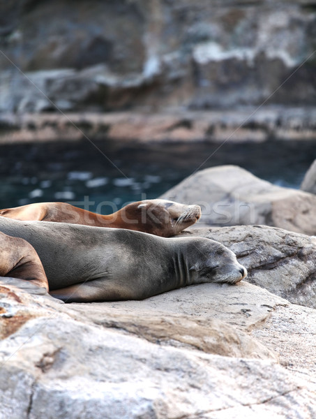 sea lion sleeping Stock photo © leungchopan