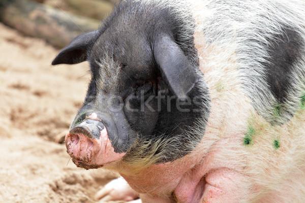 свинья фермы цвета Азии щенков грязи Сток-фото © leungchopan
