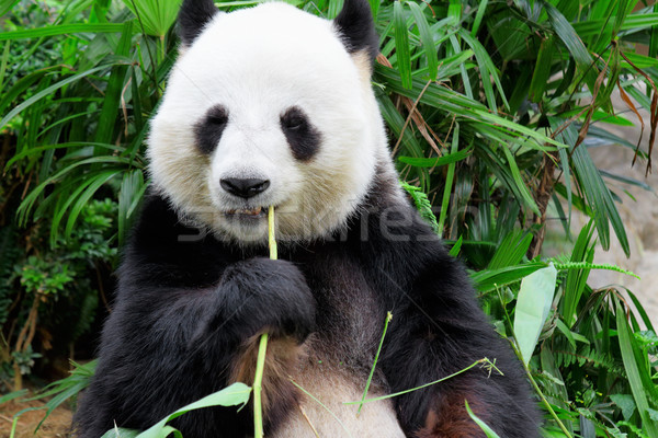 panda eating bamboo leaf Stock photo © leungchopan