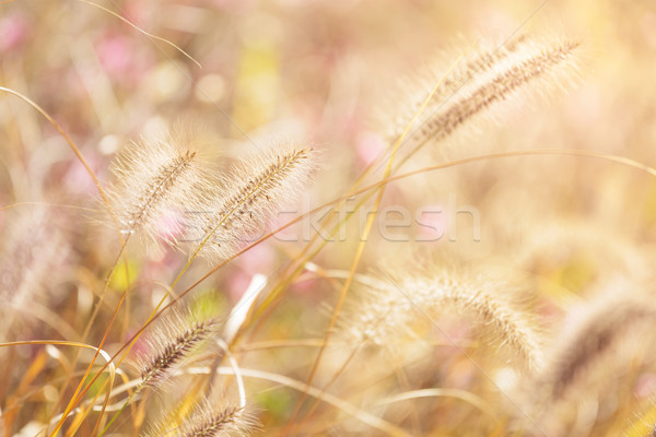 Autumn reed under sunset Stock photo © leungchopan