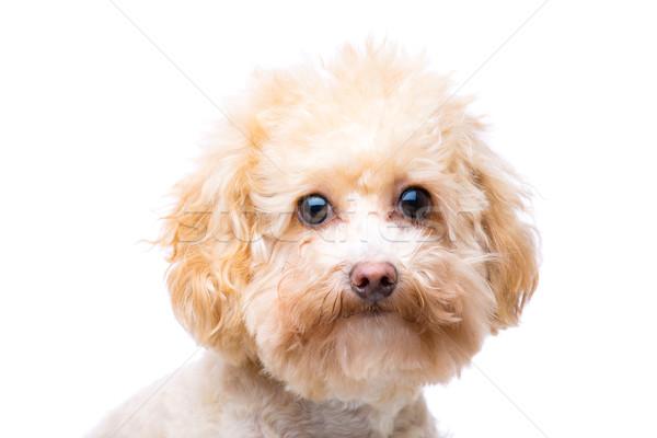 Brown poodle Stock photo © leungchopan