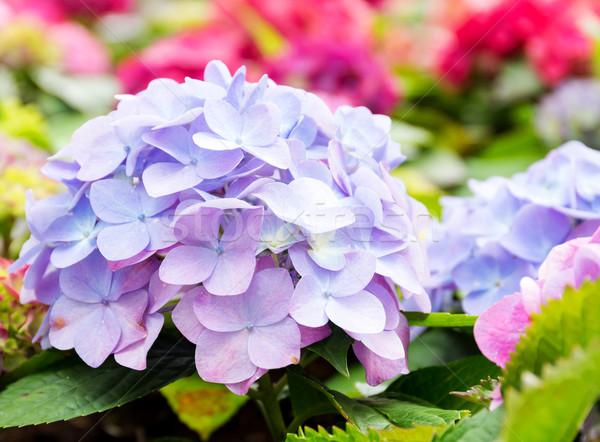 Purple blue hydrangea flower Stock photo © leungchopan