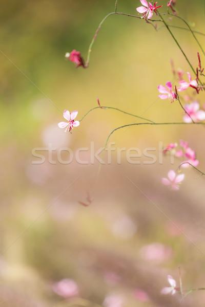 Flor rosa calle campo Daisy cereza Foto stock © leungchopan