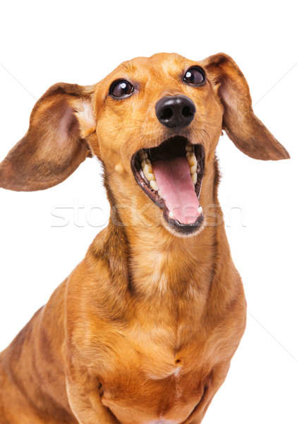 Dachshund dog yelling Stock photo © leungchopan