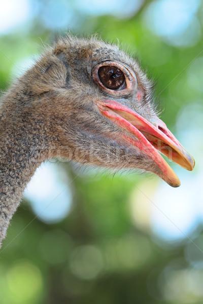 ダチョウ 眼 自然 鳥 面白い 動物 ストックフォト © leungchopan