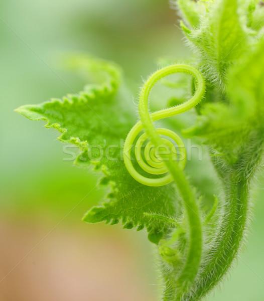 clef like vine Stock photo © leungchopan