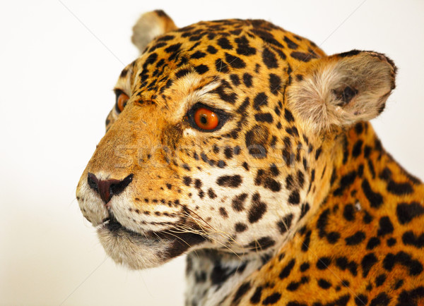 specimen jaguar Stock photo © leungchopan