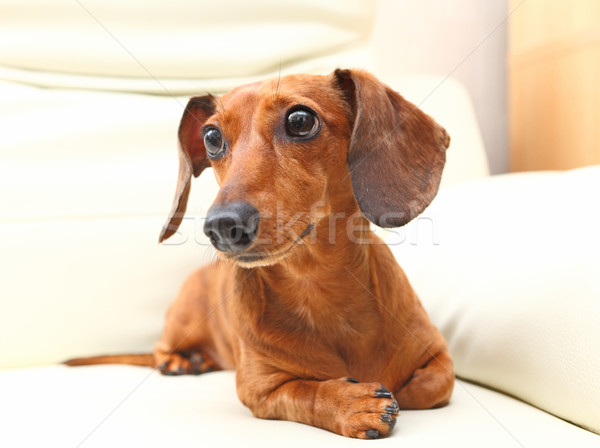 dachshund dog on sofa Stock photo © leungchopan