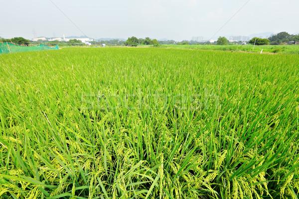 Rijstveld hemel gras achtergrond boerderij chinese Stockfoto © leungchopan