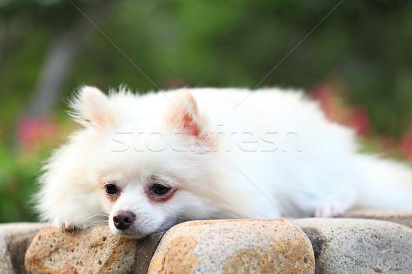 Hond oog gezicht achtergrond ruimte groene Stockfoto © leungchopan