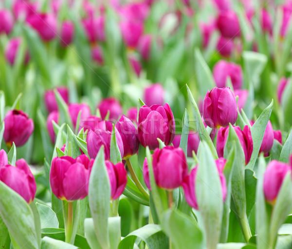 Pourpre tulipes champ de fleurs vert fraîches fleur Photo stock © leungchopan