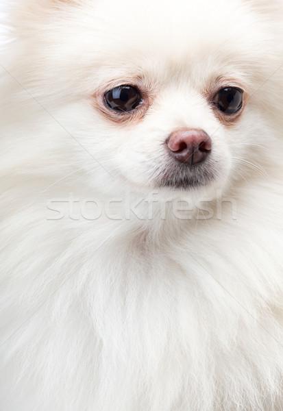 Bianco cane capelli sfondo bellezza ritratto Foto d'archivio © leungchopan
