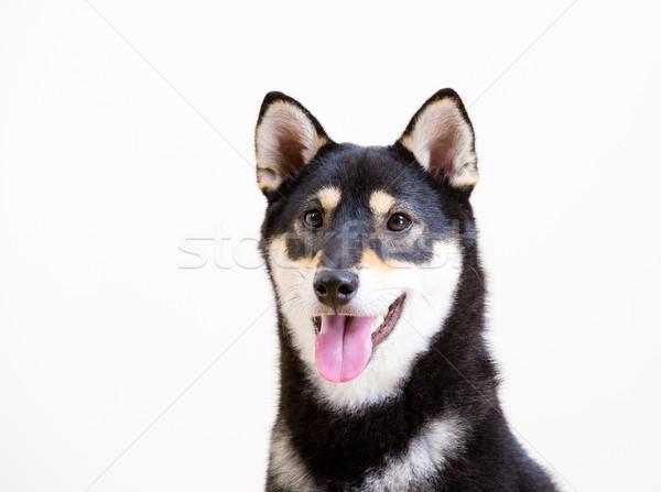 Black shiba inu dog smile Stock photo © leungchopan