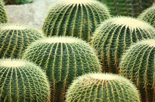 Cactus design jardin désert terre vie Photo stock © leungchopan