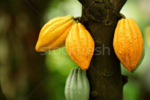 Cocoa pods Stock photo © leungchopan