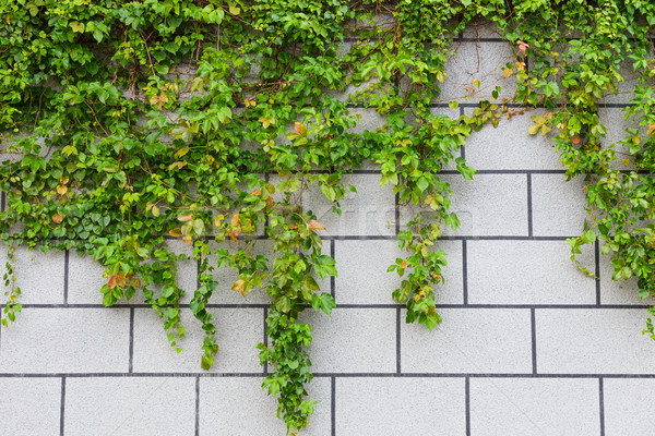 Groene klimop plant muur muur Stockfoto © leungchopan