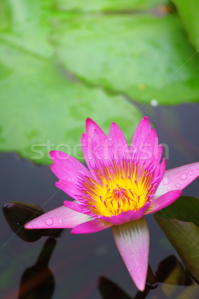 Waterlily in the lake Stock photo © leungchopan