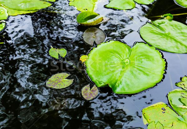 Лилия поверхности воды цветок природы лист красоту Сток-фото © leungchopan