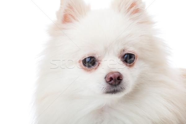 White pomeranian dog close up Stock photo © leungchopan