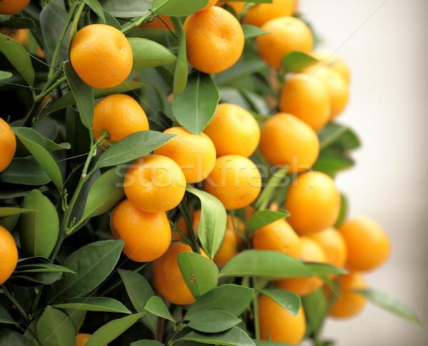 chinese kumquat for chinese new year Stock photo © leungchopan