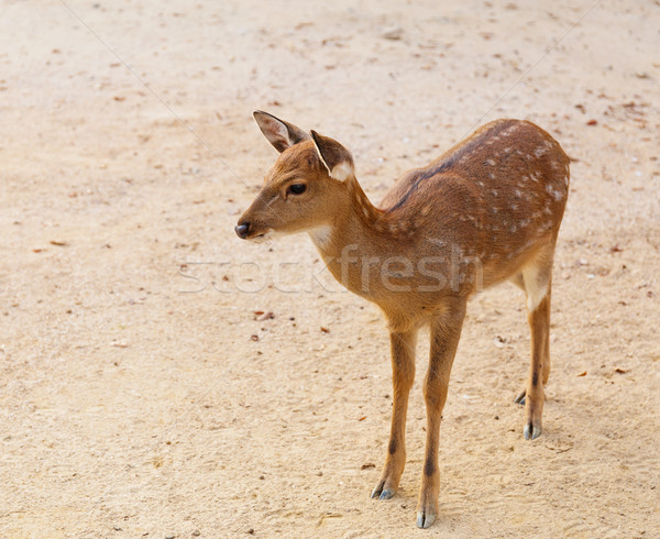Female roe deer Stock photo © leungchopan
