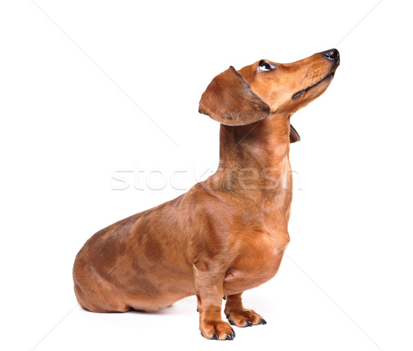 dachshund dog look up Stock photo © leungchopan