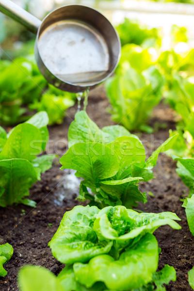 Sla natuur blad gezondheid veld plant Stockfoto © leungchopan