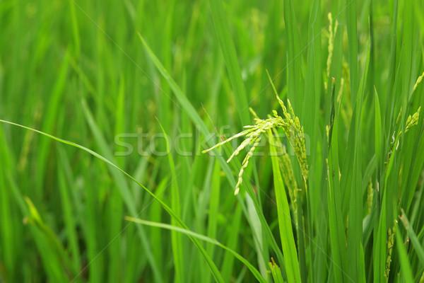 paddy rice Stock photo © leungchopan
