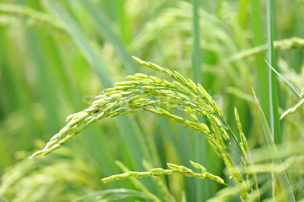 Close up of green paddy rice plant Stock photo © leungchopan