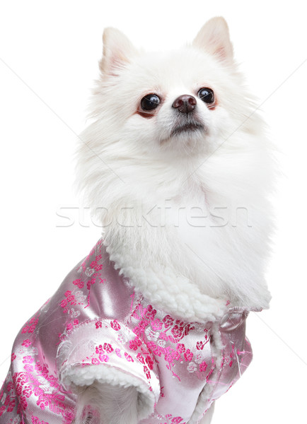Pomeranian Spitz dog Stock photo © leungchopan