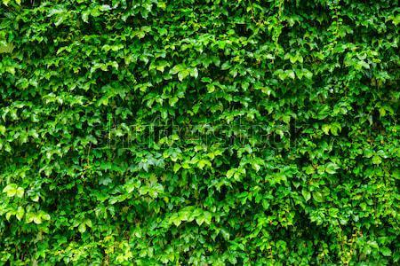 зеленый завода стены фон Сток-фото © leungchopan