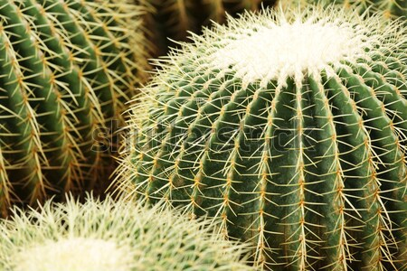 cactus , echinocactus grusonii, golden barrel cactus