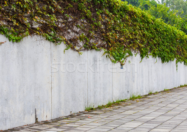 Ivy green plant on wall Stock photo © leungchopan