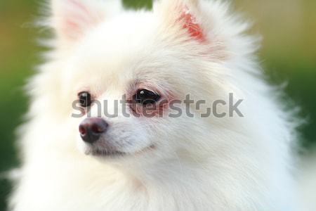 white pomeranian dog Stock photo © leungchopan