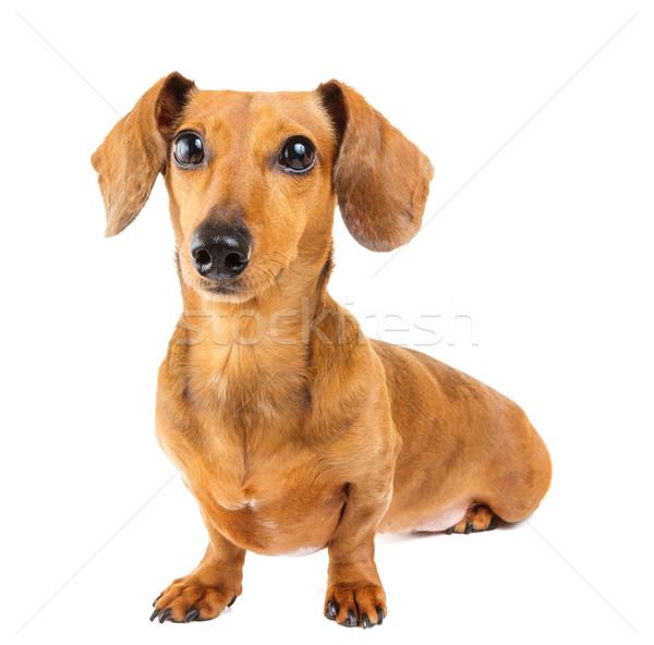 Dachshund Dog Stock photo © leungchopan