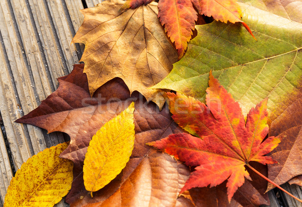 Maple leave in autumn season Stock photo © leungchopan