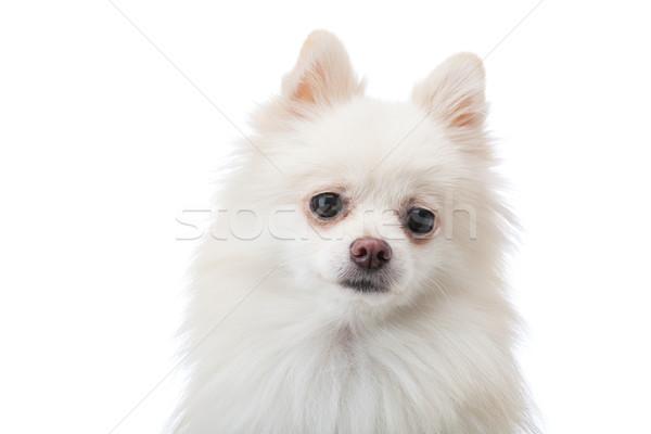 Adorable white Pomeranian puppy Stock photo © leungchopan