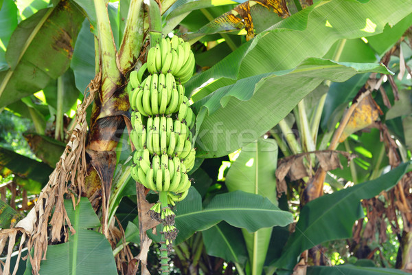 banana tree Stock photo © leungchopan
