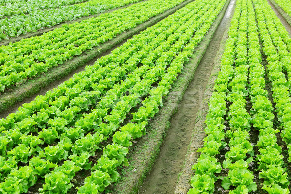 lettuce in field Stock photo © leungchopan