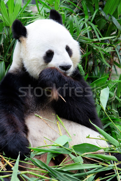 Giant panda eating bamboo Stock photo © leungchopan