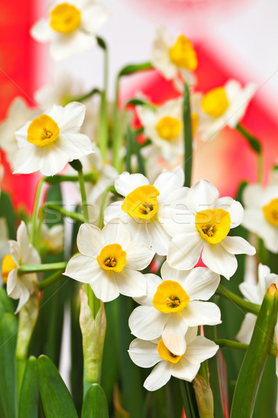 Narcissus flower Stock photo © leungchopan