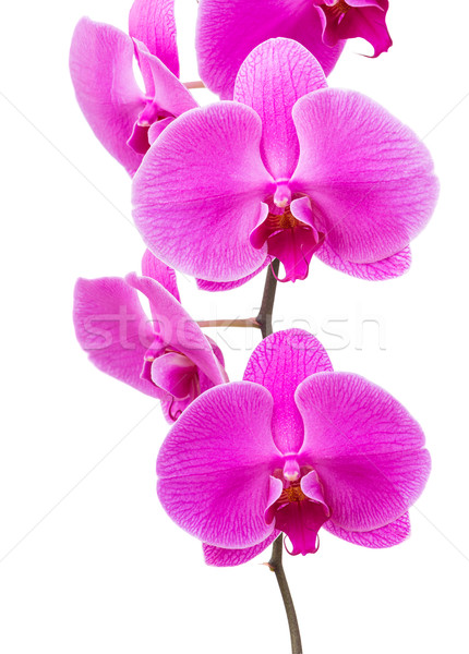 Orchid radiant flower Stock photo © leungchopan
